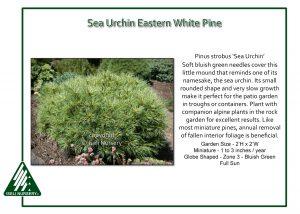 Pinus strobus 'Sea Urchin'