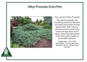 Pinus sylvestris 'Albyn Prostrata'