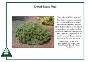 Pinus sylvestris 'Beuvronensis'