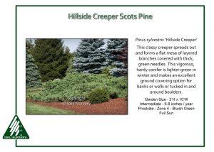 Pinus sylvestris 'Hillside Creeper'