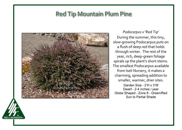 Podocarpus x 'Red Tip'