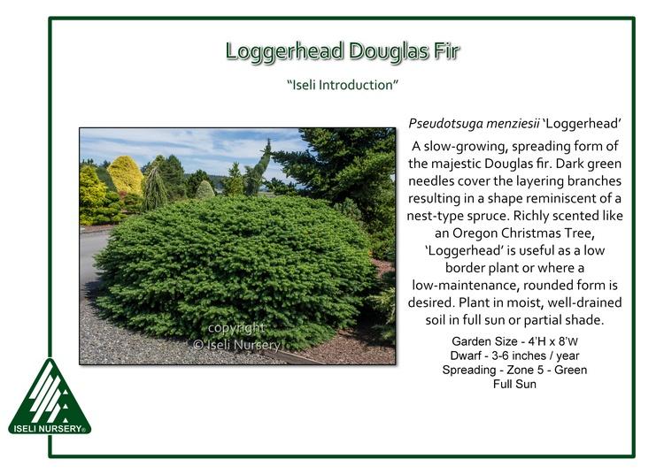 Pseudotsuga menziesii 'Loggerhead'