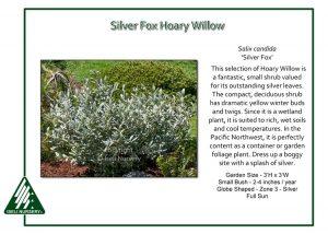 Salix candida 'Silver Fox'