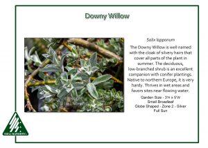 Salix lapponum