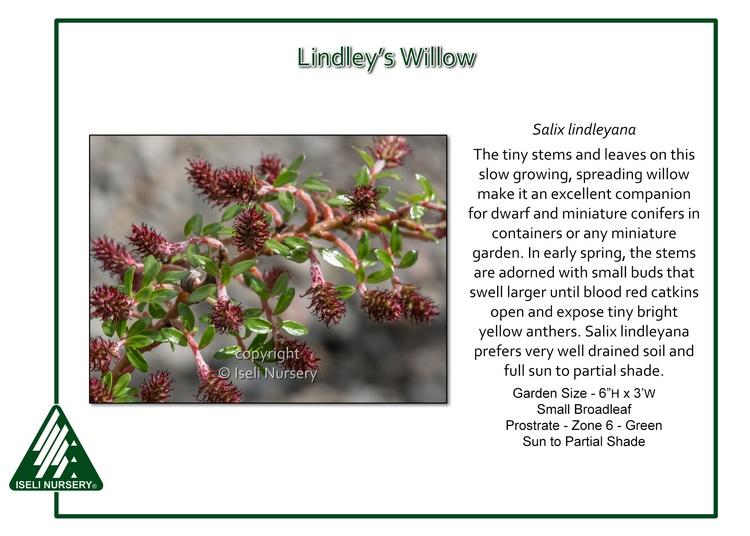 Salix lindleyanna