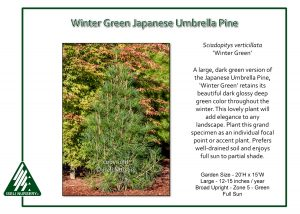 Sciadopitys verticillata 'Winter Green'