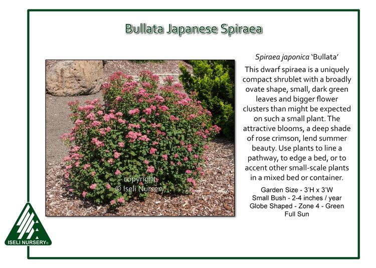 Spiraea japonica 'Bullata'