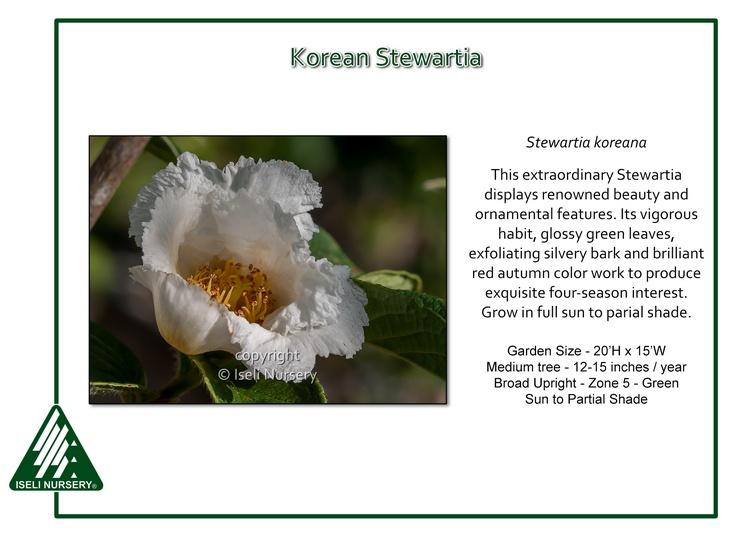 Stewartia koreana