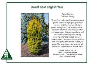Taxus baccata 'Goldener Zwerg'
