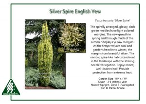 Taxus baccata 'Silver Spire'