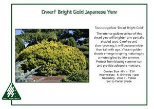 Taxus cuspidata 'Dwarf Bright Gold'