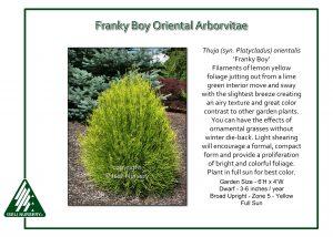 Thuja (Platycladus) orientalis 'Franky Boy'
