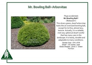 Thuja occidentalis Mr. Bowling Ball® ('Bobazam')