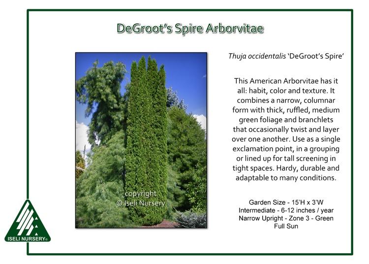Thuja occidentalis 'DeGroot's Spire'