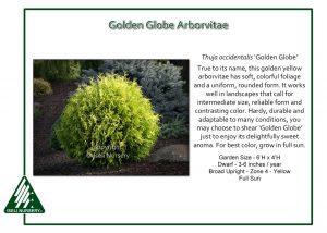 Thuja occidentalis 'Golden Globe'