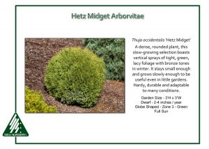 Thuja occidentalis 'Hetz Midget'