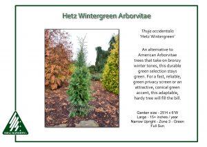 Thuja occidentalis 'Hetz Wintergreen'