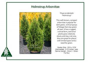Thuja occidentalis 'Holmstrup'