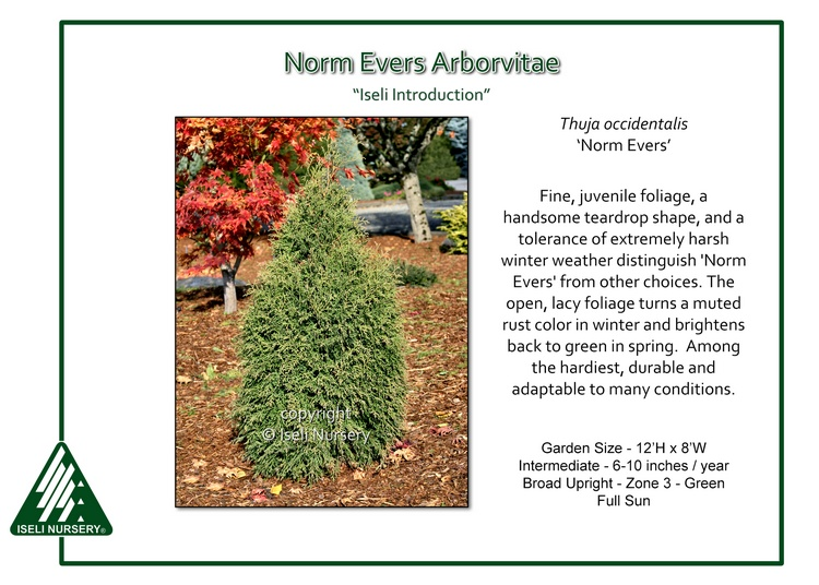 Thuja occidentalis 'Norm Evers'
