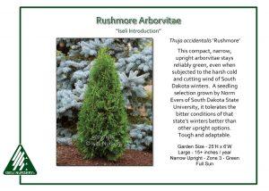 Thuja occidentalis 'Rushmore'