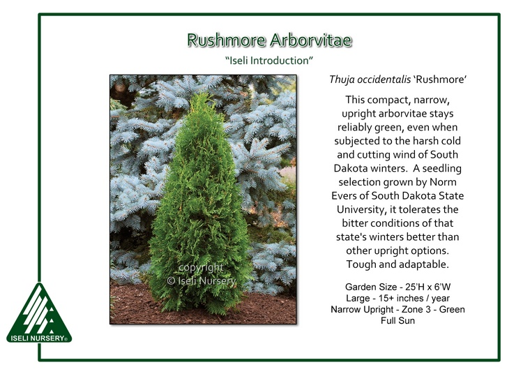 Thuja occidentalis 'Rushmore'