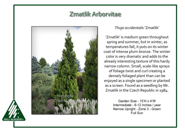 Thuja occidentalis 'Zmatlik'