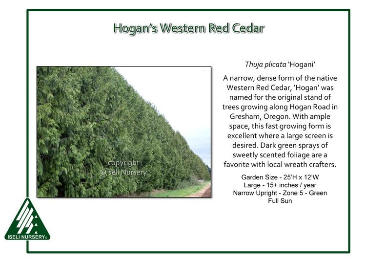 Thuja plicata 'Hogani'