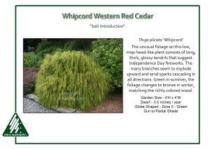 Thuja plicata 'Whipcord'