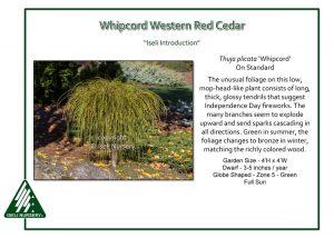 Thuja plicata 'Whipcord' on standard