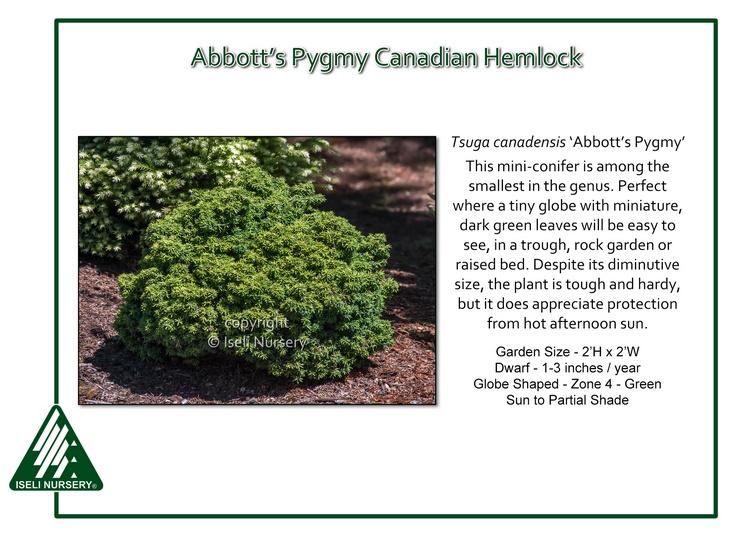 Tsuga canadensis 'Abbott's Pygmy'