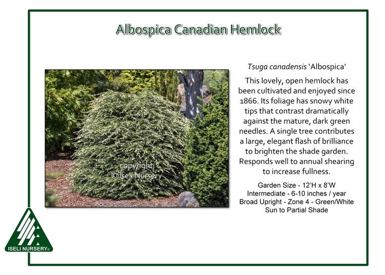 Tsuga canadensis 'Albospica'
