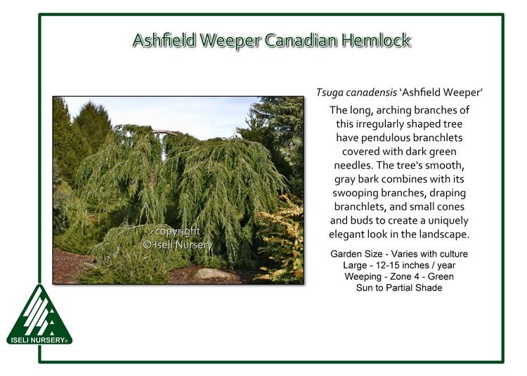 Tsuga canadensis 'Ashfield Weeper'
