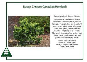 Tsuga canadensis 'Bacon Cristate'