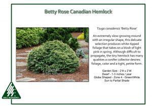 Tsuga canadensis 'Betty Rose'