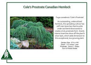 Tsuga canadensis 'Cole's Prostrate'