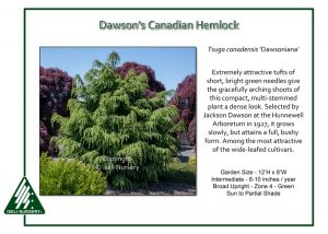 Tsuga canadensis 'Dawsoniana'