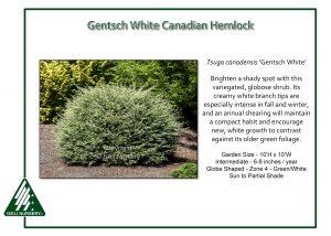 Tsuga canadensis 'Gentsch White'