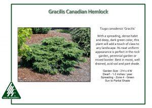 Tsuga canadensis 'Gracilis'