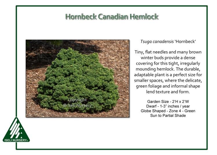 Tsuga canadensis 'Hornbeck'