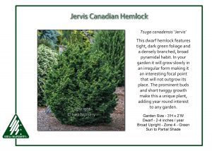 Tsuga canadensis 'Jervis'