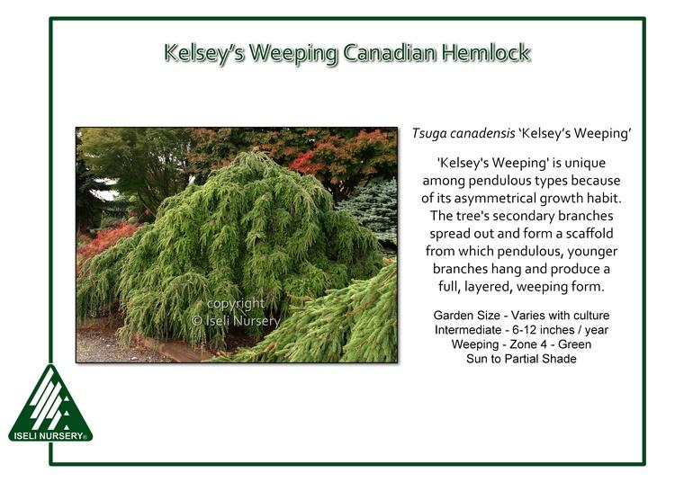 Tsuga canadensis 'Kelsey's Weeping'