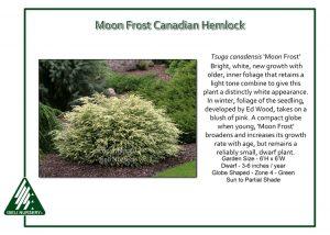 Tsuga canadensis 'Moon Frost'
