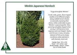 Tsuga diversifolia 'Minikin'