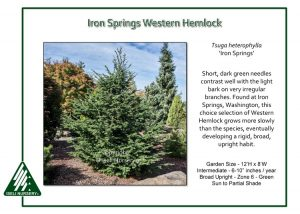 Tsuga heterophylla 'Iron Springs'