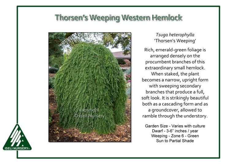 Tsuga heterophylla 'Thorsen's Weeping'