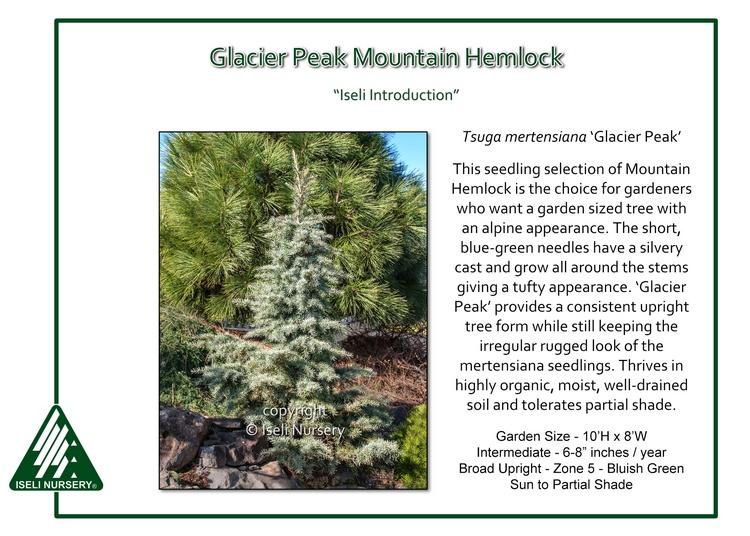 Tsuga mertensiana 'Glacier Peak'