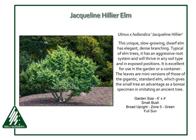 Ulmus x hollandica 'Jacqueline Hillier'