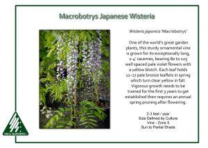 Wisteria japonica 'Macrobotrys'