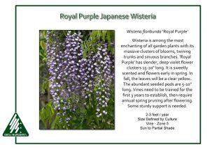 Wisteria floribunda 'Royal Purple'