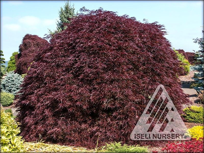 Acer palmatum dissectum 'Red Dragon'